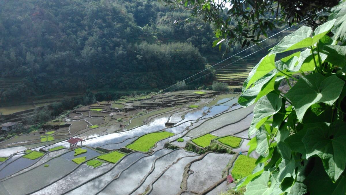 riceterraces1