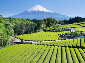 Green fields of tea in Japan